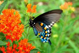 300px-Pipevine_Swallowtail_(pipevine-swallowtail.jpg/