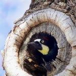 woodpecker nest